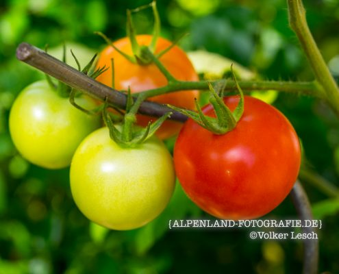 Tomaten am Mountainfloat