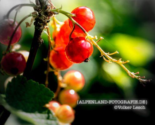 Johannisbeeren in Bad Reichenhall © Volker Lesch - Alpenland Fotografie