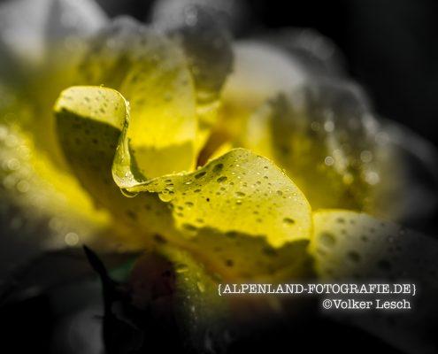 Rosen in Bad Reichenhall © Volker Lesch - Alpenland Fotografie